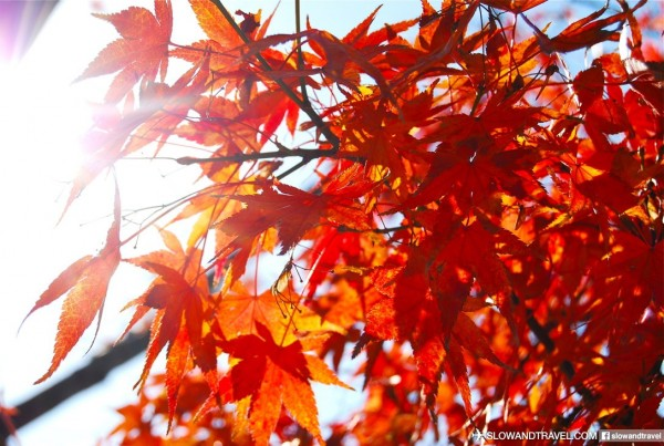 深秋時分,太宰府依然一片火紅「楓」景。